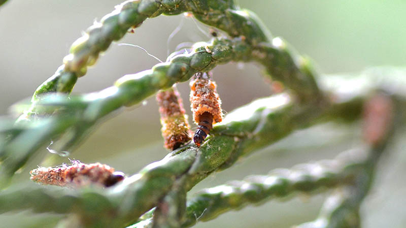 Baby bagworms – EcoIPM