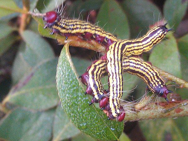 Azalea Caterpillars Ecoipm