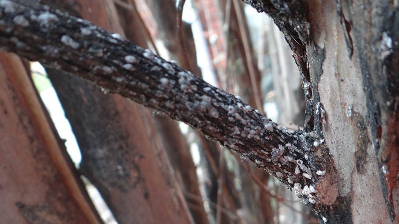 Crape Myrtle Bark Scale New Tree Pest Has Arrived In Nc